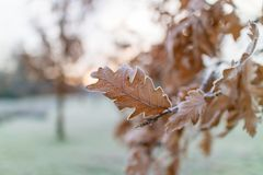 Frosty morning. Frozen oak leaves on a tree in a park in Manchester on a cold frosty royalty free stock photography