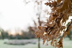 Frosty morning. Frozen oak leaves on a tree in a park in Manchester on a cold frosty royalty free stock photo