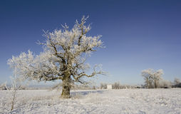 Frozen oak tree. On a winter scenery Stock Images
