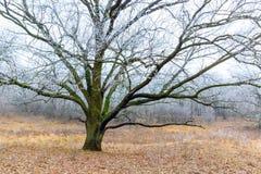 Frozen oak tree Stock Image