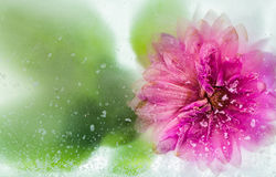 Frozen Over Flower Royalty Free Stock Photo