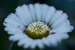Frozen oxeye daisy Stock Photo