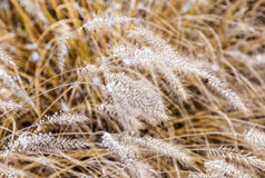 Frozen pampas grass (Cortaderia selloana) in wintertime Royalty Free Stock Photo