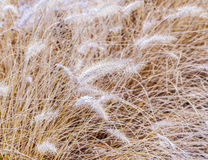 Frozen pampa grass in wintertime Stock Photo