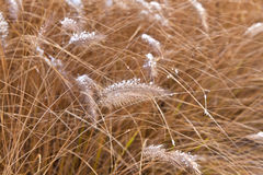 Frozen pampa grass in wintertime Royalty Free Stock Image