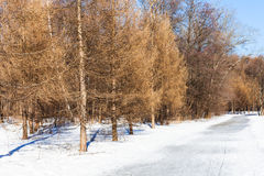 Frozen pathway along bare larch trees in winter Royalty Free Stock Images