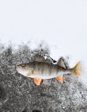 Frozen perch Stock Photos
