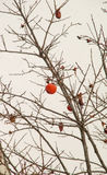 The frozen persimmon on the waterfront of Pomorie in Bulgaria Royalty Free Stock Images
