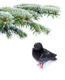 Frozen pigeon Stock Image