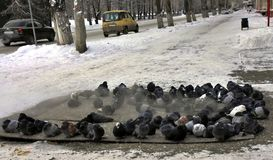Frozen pigeons fluffed up feathers. Bask in the warmth shield. Steam comes. Frost minus 25 degrees Celsius. stock photos