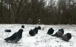 Frozen pigeons in the snow Stock Photography