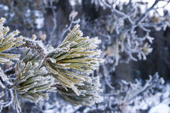 Frozen pine Stock Images