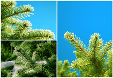 Frozen pine Royalty Free Stock Photo