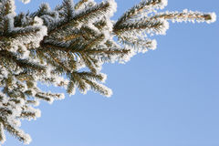 Frozen pine Royalty Free Stock Photography