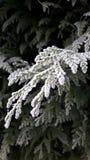Frozen pine branch Stock Photos