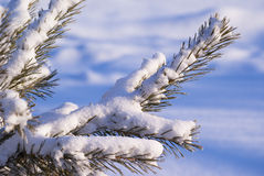 Frozen pine branch covered with snow Stock Images