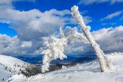 Frozen pine branch sticking out of the snow. On the top of the Karavanke mountain ridge, Slovenia Royalty Free Stock Photos