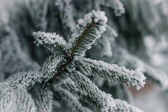 Frozen pine branch Royalty Free Stock Photo