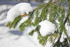 Frozen pine branches Stock Images