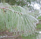 Frozen pine branches Royalty Free Stock Photography