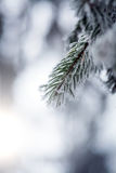 Frozen pine branches Stock Photos