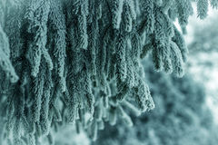 Frozen pine branches Royalty Free Stock Images