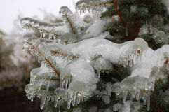 Frozen pine branches Royalty Free Stock Photo