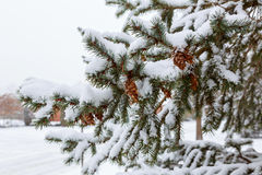 Frozen pine branches in the snow Royalty Free Stock Photos