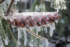 Frozen pine cone Stock Photography
