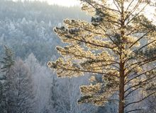Frozen pine in winter morning royalty free stock photo