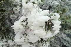 Frozen pine Stock Photo