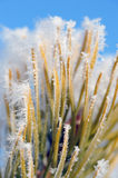 Frozen pine needles Royalty Free Stock Images