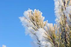 Frozen pine needles Stock Image
