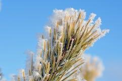 Frozen pine needles Royalty Free Stock Photos