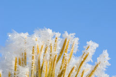 Frozen pine needles Stock Photos