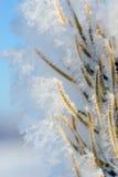 Frozen pine needles Stock Photo