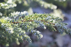 Frozen Pine Needles and Leaves Royalty Free Stock Photo