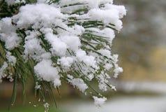 Frozen pine needles with snow Stock Photo