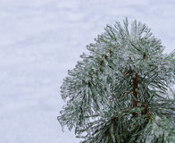 Frozen pine needles on white. Stock Photography