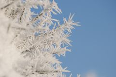 Frozen pine needles with winter rime and frost crystals stock image