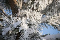 Frozen pine needles with winter rime and frost crystals in sunlight royalty free stock image