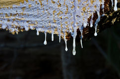 Frozen Pine Sap Royalty Free Stock Image