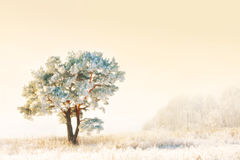Frozen pine-tree. At dreamy winter day Royalty Free Stock Photo