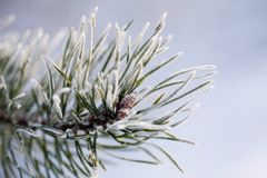 Frozen pine tree Royalty Free Stock Photos