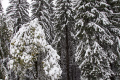 Frozen pine tree Royalty Free Stock Image