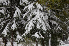 Frozen pine tree Stock Images