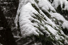 Frozen pine tree Stock Photography