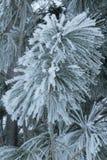 Frozen Pine Tree Branch Stock Photo