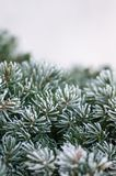 Frozen pine tree branches. Closeup of frozen pine tree branches in winter with white background Stock Photos