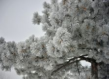 Frozen Pine Tree branches covered in frost. Close-up of frozen Pine Tree branches with cones. The long leaves are frozen, covered in white frost. The sky can be royalty free stock photo